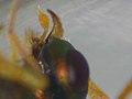 Halticoptera laevigata (36413978941).jpg