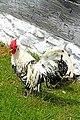 Hamburg Rooster.jpg