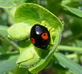 Harmonia axyridis conspicua - Flickr - gailhampshire.jpg