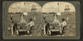 Harvesting Indian River pineapples, Florida, U.S.A, from Robert N. Dennis collection of stereoscopic views.png