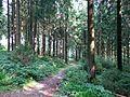 Harzer Fichtenwald oberhalb von Festenburg.JPG