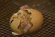 [Image: 220px-Hatching.jpg]