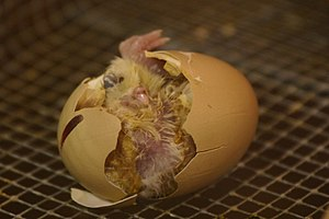 Chicken or the egg - A chick hatching from an egg