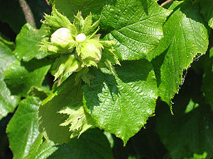 Lasqueti Island - Hazelnuts growing in one of many orchards on Lasqueti Island.
