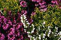 Heather (Ericaceae). Shepperton UK.jpg