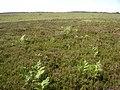 Heathland between Black Gutter Bottom and Deadman Hill, New Forest - geograph.org.uk - 27291.jpg