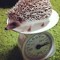 Hedgehog on a scale.jpg
