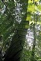 Helecho Arborescente (Tree-like fern) (30767018974).jpg