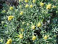 Helichrysum decumbens.jpg