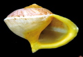 Helicina rhodostoma shell.png