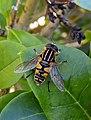 Helophilus, Denmark, Sydals, 27-08-2020 (cropped).jpg