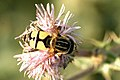 Helophilus.hybridus.jpg