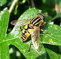 Helophilus pendulus. - Flickr - gailhampshire (1).jpg