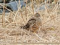 Hen Harrier (Circus cyaneus) (49091598311).jpg