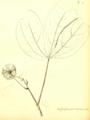 Heptapleurum tripteris (syn Brassaiopsis tripteris) Hector Léveillé 1918.png