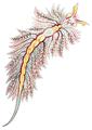 Hermaea bifida.png