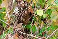 Hermit thrush (24619057159).jpg