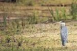 Heron - Lackford Lakes (27960049232).jpg