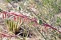 Hesperaloe (Agavaceae) Hesperaloe parviflora subsp. bechtoldii mit Früchten MB A.jpg