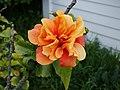 Hibiscus (10128678544).jpg