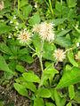 Hieracium japonicum 3.JPG