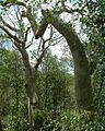Hildegardia cubensis1.jpg