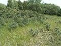 Hippophae rhamnoides kz02.jpg
