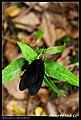 Histia flabellicornis (5404944566).jpg