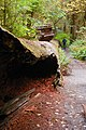 Hoh fallen tree visitor cbubar (17300892632).jpg