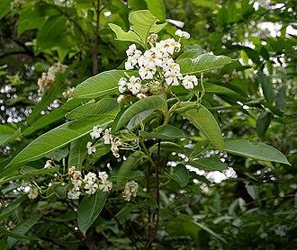Holarrhena pubescens - Image: Holarrhena pubescens flowers & leaves W IMG 0293