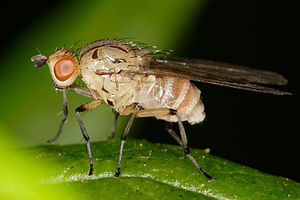 Homoneura sp. fly