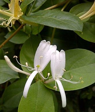 Honeysuckle - Honeysuckle Lonicera japonica