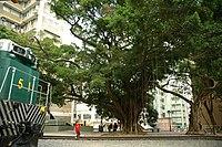 Hong Kong Railway Museum, Ficus microcarpa (Hong Kong).jpg