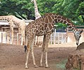 Honolulu Zoo--Three Reticulated Giraffes (2369009953).jpg
