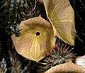 Hoodia gordonii 1DS-II 2-3331.jpg