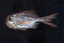 Beryciformes wikipedia - Profondo rosso specchio ...
