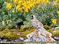 Horned Lark (Eremophila alpestris) (36955386531).jpg