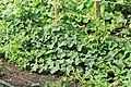 Horngurke - Kiwano - Cucumis metuliferus im Garten, kletternd 10 ies.jpg