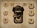 Horse's mouth and teeth; Wellcome V0016951.jpg
