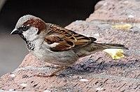 House sparrowII