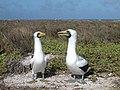 Howland Islands Masked Boobies (14365063360).jpg