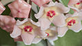 Hoya flowers.jpg