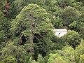 Huge pine tree and chappel near Anavriti - panoramio.jpg