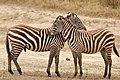 Hugging zebras (29639506957).jpg