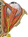 Human eye and orbital anatomy, superior view (450141893).jpg
