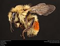 Hunt's bumblebee (Bombus huntii) (37091909164).jpg