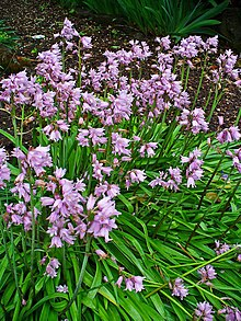 Image result for spanish bluebells