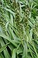 Hyacinthoides italica fruits in Jardin des Plantes 01.jpg