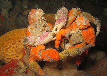 Decorator Crab Wikipedia