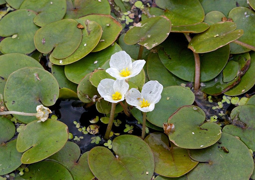 Vodnianka žabia (lat. Hydrocharis morsus-ranae)